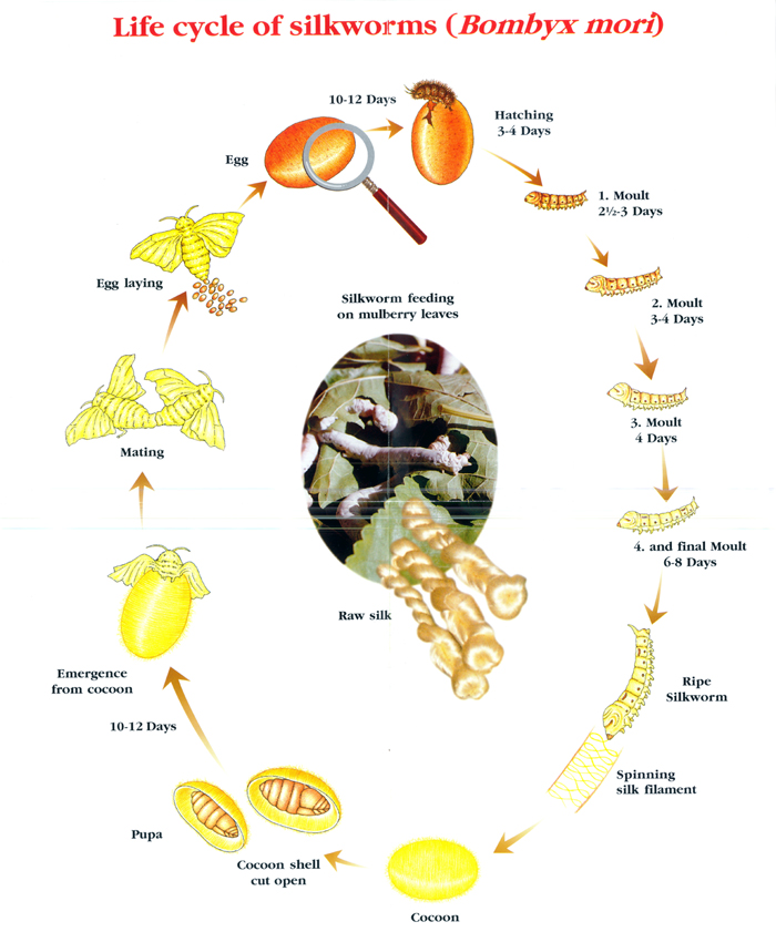 SILK-WORM-LIFECYCLE